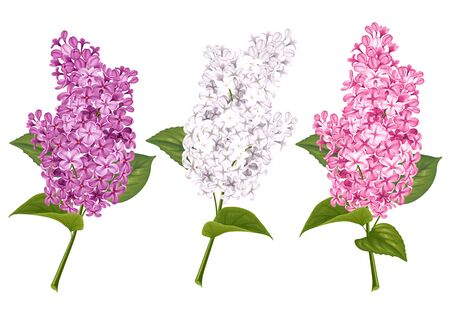 Spring flowers. Gentle fragrant branches of white, purple and mauve lilac. Vector illustration. Isolated on white background. Illustration
