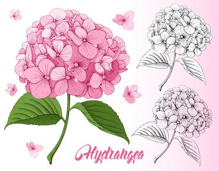 詳細な手は、セット - アジサイの咲く花を描かれました。白い背景上に分離。ベクトル。  イラスト・ベクター素材