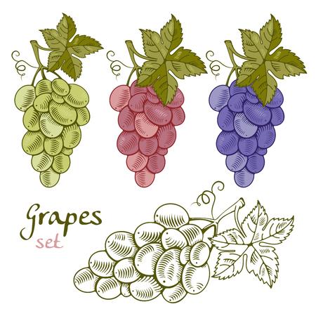 Raccolta di uva in stile disegnato a mano, xilografia o incisione. Variazioni di silhouette colorate e schizzo. Illustrazione vettoriale. Vettoriali