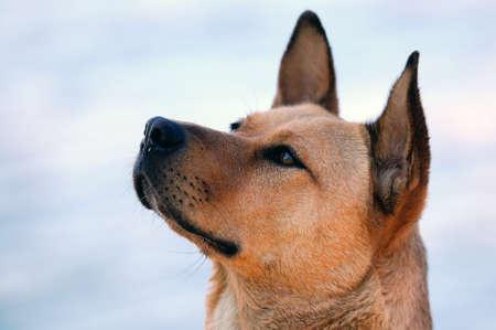 portrait of australian dingo