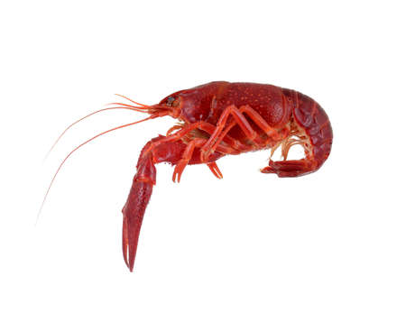 isolated red raw crayfish on white background