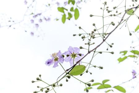 soft focus queen flower on tree photo