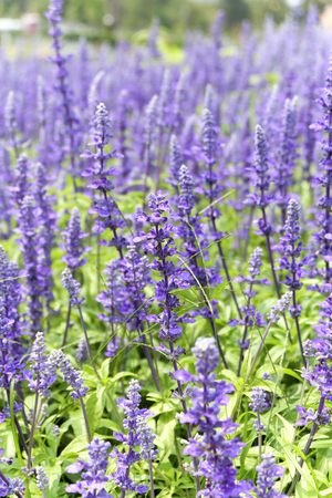 salvia: soft focus of blue salvia flowers in the field in sunny day Stock Photo