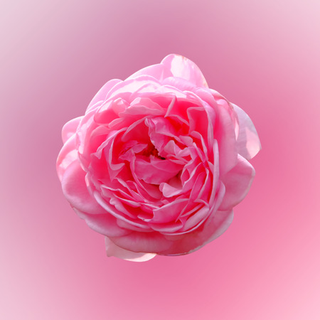 Blurred soft style pink rose flower