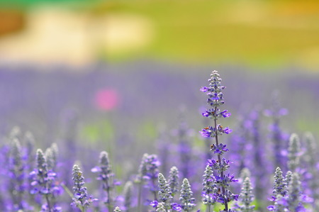 blue salvia flowers in the field in sunny day.soft focus