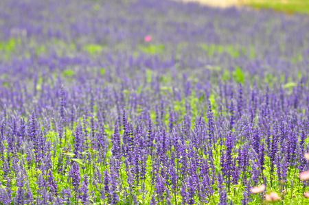 blue salvia flowers in the field in sunny day soft focus at front of picture