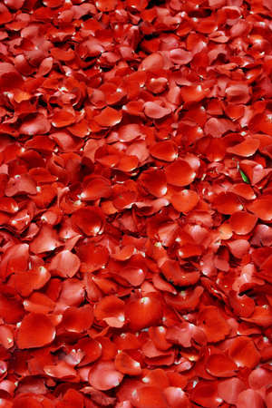 red rose petal background photo