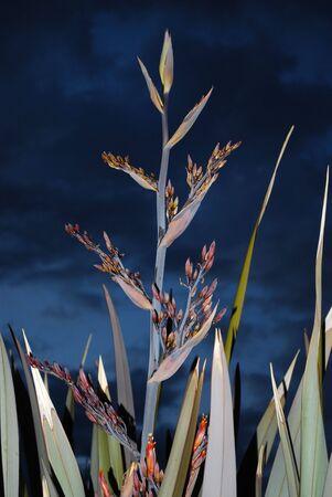 new zealand flax: New Zealand Flax Against Cloudy Night Sky