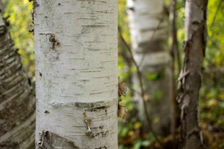 Birch tree 版權商用圖片 - 15462883