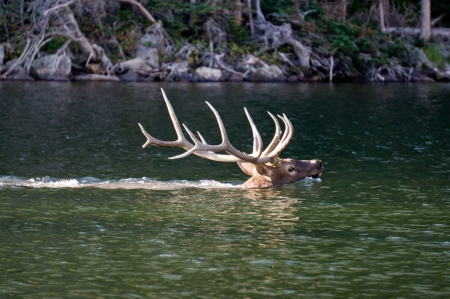 rocky mountains colorado: 6X6 bull elk swiming in The Loch, Rocky Mountain National Park