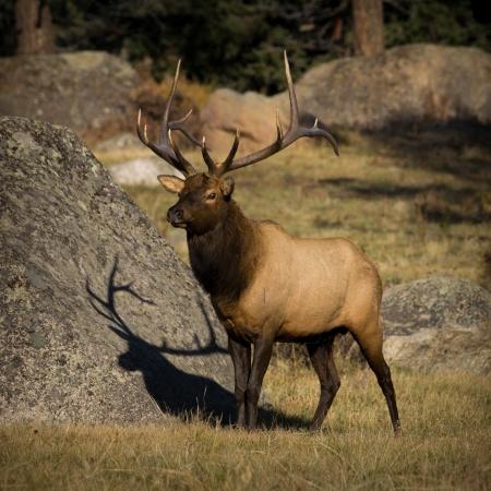 rocky mountain national park: 6X6 Bull Elk in Horseshoe Park, Rocky Mountain National Park. Stock Photo