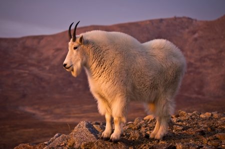evans: Proud Mountain Goat with Mount Evans in the Background. Stock Photo