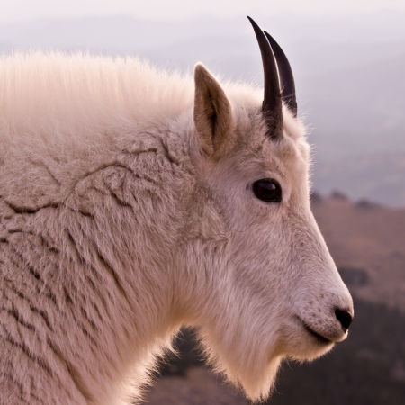A close up profile of a Mountain Goat. photo