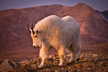 A Mountain Goat poses along side the road that goes to the summit of Mount Evans. photo