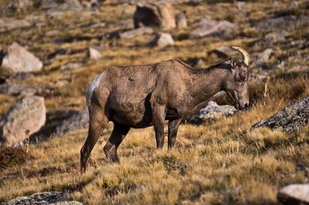 rocky mountain bighorn sheep: A female Rocky Mountain Bighorn Sheep on Mount Evans Colorado  Stock Photo