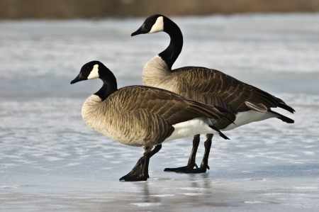 A pair of Canada stand in profile on a frozen lake