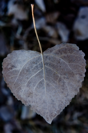 serrate: A dry brown heart shaped leaf from a Cottonwood tree