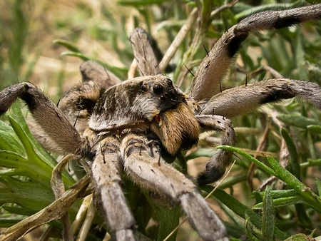 wolf spider: close-up view of a wolf spider in green vegitation.
