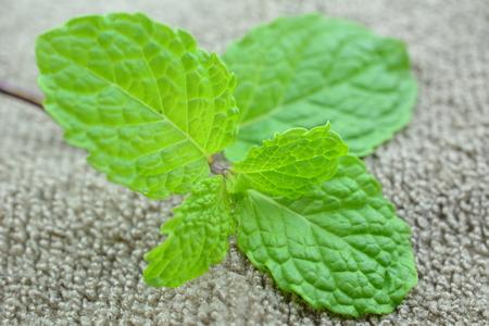 mentha: peppermint (Mentha Piperita)