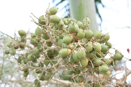 areca: Betel  Nuts Stock Photo