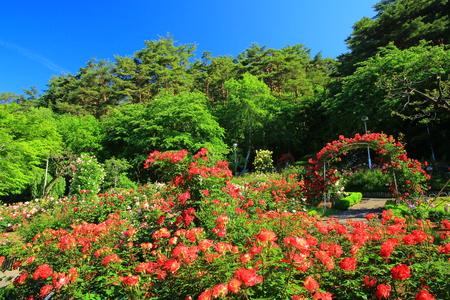 Hanamaki hot springs rose garden Stock Photo