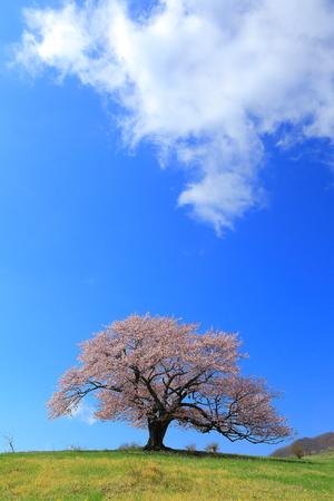 mori: One of the turtle ke Mori cherry tree