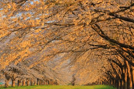racecourse: Mizusawa Racecourse cherry tree roadside trees