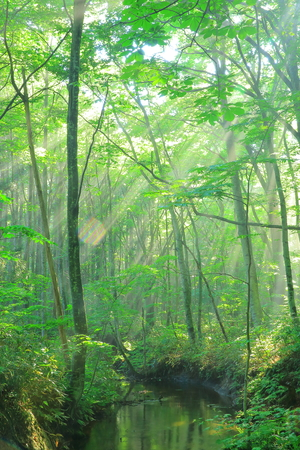 Aomori Prefecture 8 hakkoda, forest