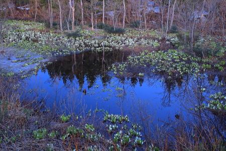 colony: Chokai mountain Skunk cabbage colony