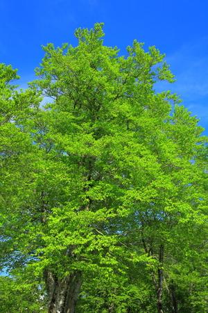 Beech forest of the chokai mountain snow