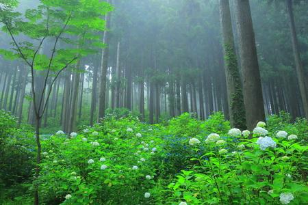 Ichinoseki Michinoku hydrangea garden Stock Photo