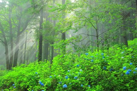 Ichinoseki Michinoku hydrangea garden Reklamní fotografie
