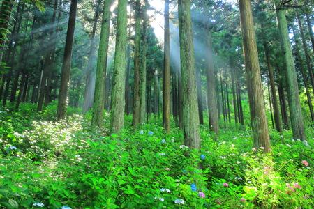 Ichinoseki Michinoku hydrangea garden Banco de Imagens