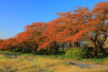 Exhibition of Tokachi cherry tree leaves