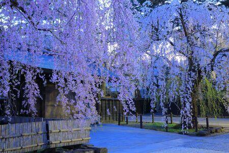 castle district: Samurai cherry blossom