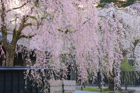Weeping cherry tree and old Samurai residences