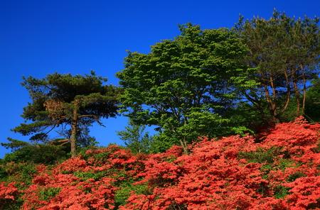Murone mountain azalea Stock Photo