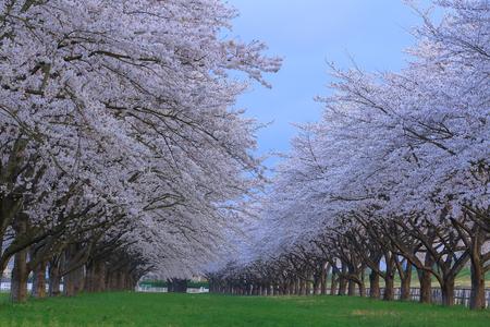Mizusawa Racecourse cherry tree roadside trees