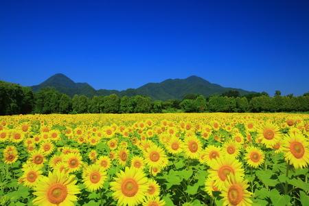 Sunflowers yahaba, Iwate Prefecture