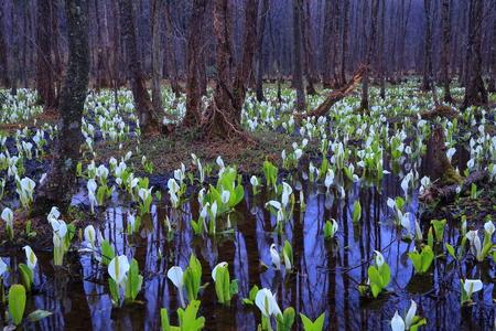 Sashimaki marshland Akita spring