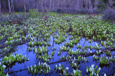 Chokai mountain Skunk cabbage colony
