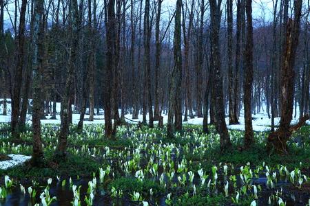 Sashimaki marshland in spring
