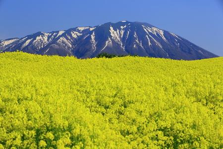 Iwate and rape Reklamní fotografie