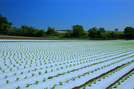Okunakayama Highland in lettuce field Stock Photo