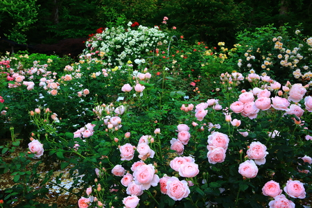 Hanamaki hot springs rose garden Stock fotó - 104999990