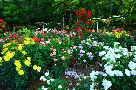Hanamaki hot springs rose garden Фото со стока