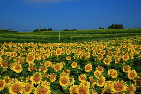 Sunflower field of Sanboki