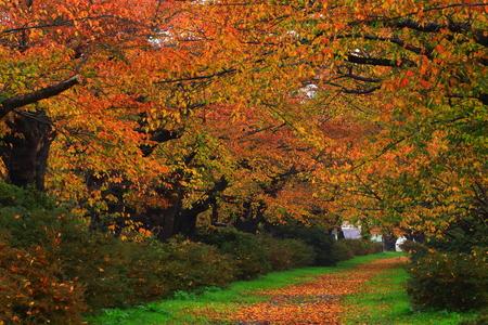 Autumn cherry tree roadside trees