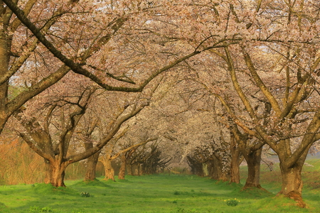 Spring cherry tree roadside trees