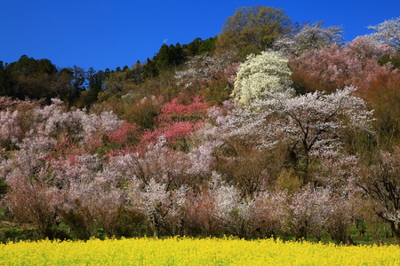 Spring cherry blossom viewing mountains 写真素材